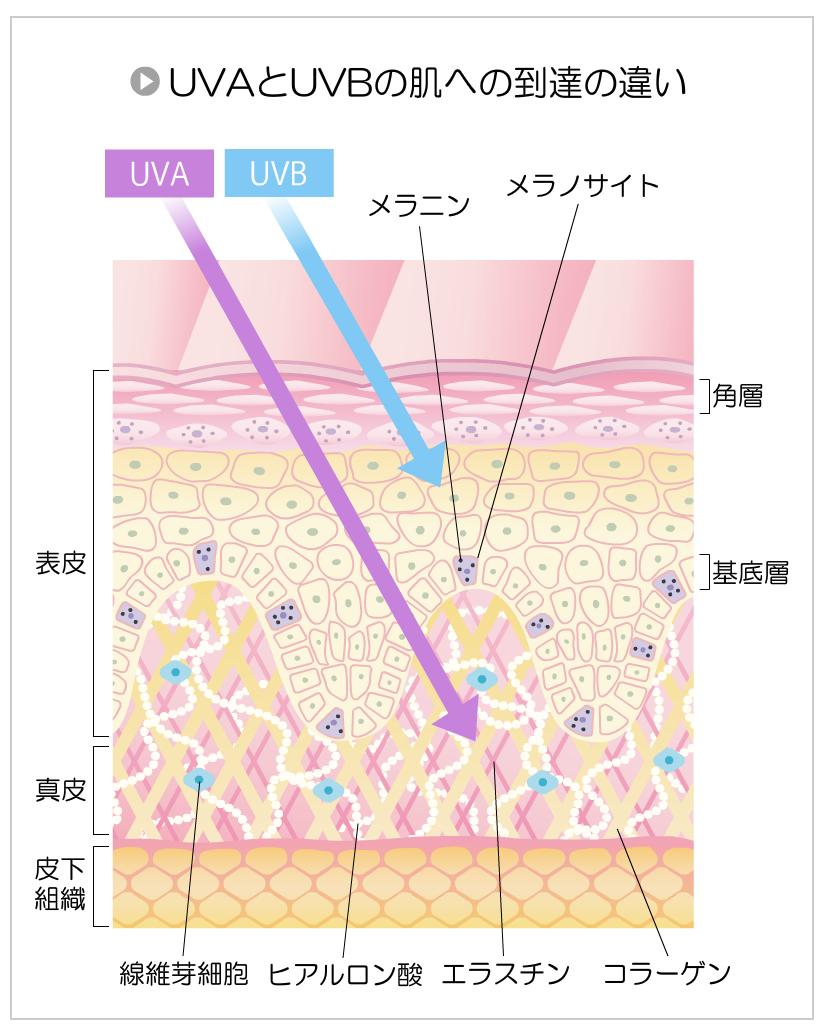 紫外線にはUVAとUVBの2種類があり、肌や細胞への浸透率が違う。